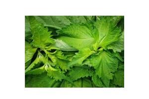 Green Shiso Leaves